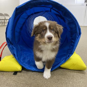 Puppy Agility & Enrichment